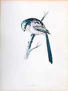 Long-tailed tit (Aegithalos caudatus) perching on a branch. This bird is very small, with a length of only 13-15 centimetres including its very long tail. It is found in most of Europe and Asia. 19Th century artwork