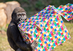 "© Licensed to London News Pictures. 11/02/2020. Bristol, UK. Bristol Zoo marks the fourth birthday of Western Lowland Gorilla ""Afia"" (pictured) whose birthday is tomorrow, 12 February. Afia was born by caesarean section when her mother Kera got pre-eclampsia, and then Afia was hand reared for months by zoo keepers before being reintroduced back into the troupe. She was then adopted by the matriarch Romina who has since died, but Afia is settled with the group. Photo credit: Simon Chapman/LNP."