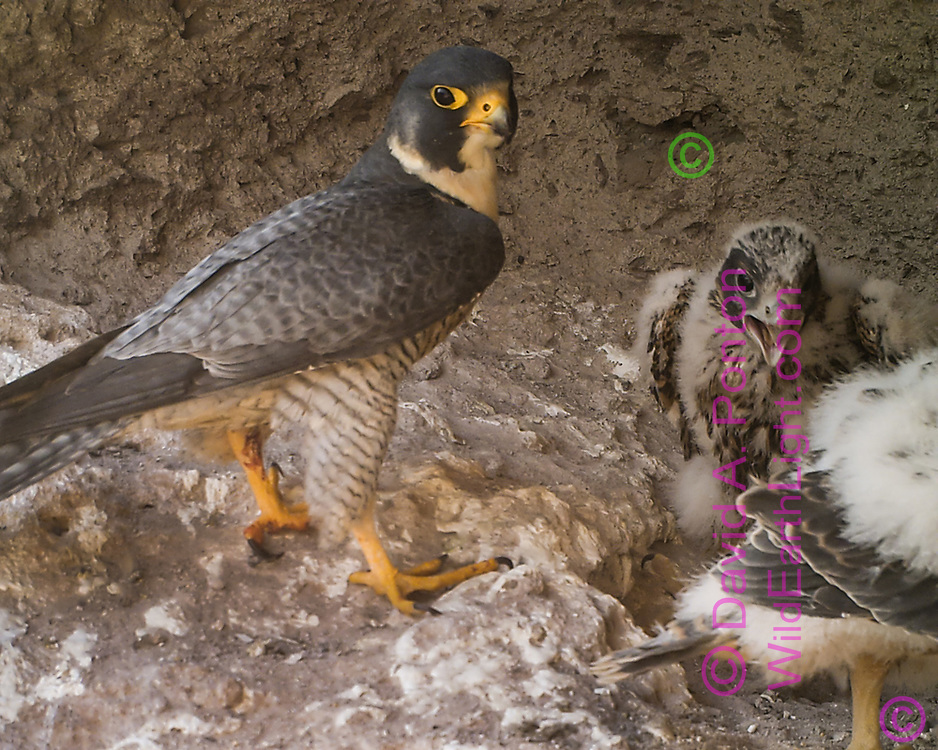 Adult peregrine falcon with 27-day-old nestlings. Wailing nestling seems to folow sibling that has the prey. The nestlings have some body feathers showing through the down, © 2013 David A. Ponton [photo by motion-activated camera, low-resolution limits repro. size]