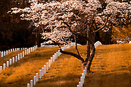 Rows of white gravestones and a dogwood tree in bloom in the spring at the Annapolis National Cemetery, Annapolis, Maryland. The Annapolis national cemetery was established by Abraham Lincoln in 1862.  Soldiers from the civil war to more modern conflicts are interned here, however the cemetery is closed to new internments.  The total number of internment's as of 2007 is 2995.