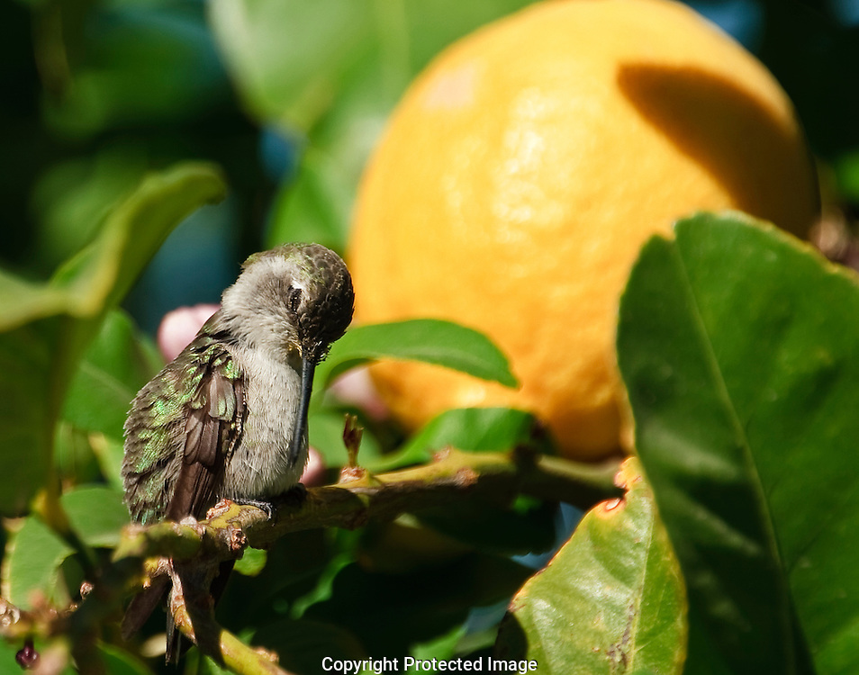 Tiny female Costa's Hummingbird warming herself near a lemon on a hot summer day.