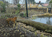 © Licensed to London News Pictures. 20/03/2013. London, UK Jae Jae explores his new enclosure. Press preview of ZSL London Zoo's brand new Sumatran tiger enclosure. Tiger Territory, a £3.6m project, is home to Jae Jae and Melati, Europe's most genetically important pair of Sumatran tigers who were matched by the global breeding programme for the critically endangered species. Representing a wild population of just 300 individuals, Jae Jae and Melati travelled more than 14,000 miles from opposite ends of the earth to be paired at Tiger Territory. . Photo credit : Stephen Simpson/LNP
