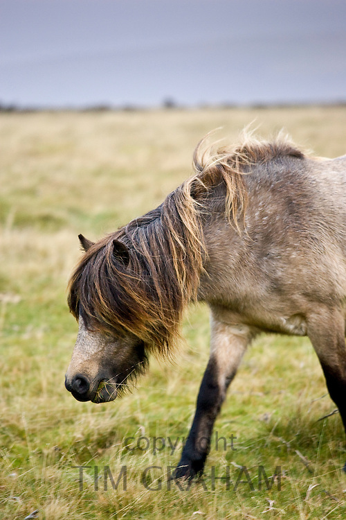 Pony grazing on the moor, Dartmoor, Devon,  United Kingdom