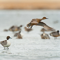 hen nothern pintail takes off from ice leaving drake