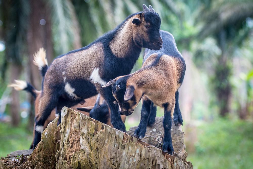 Goats (Capra aegagrus hircus) play on tree stumps in Ganta, Liberia