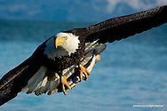 Bald Eagle<br /> Kachemak Bay; Kenai Peninsula, Alaska<br /> <br /> Bald eagles are capable of catching fish up to 15 pounds. In addition, small mammals, waterfowl, seabirds, and even carrion finds its way into their diet.<br /> <br /> Edition of 500