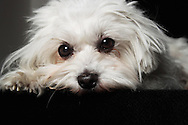 Studio shoot of a Maltese Bitch, on table with black cloth, black and grey backdrop.