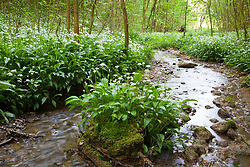 Masses of Wild garlic growing by a stream in a woodland in Gloucestershire. Ramsons. Allium ursinum