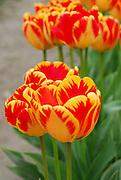Orange Parrot Tulip