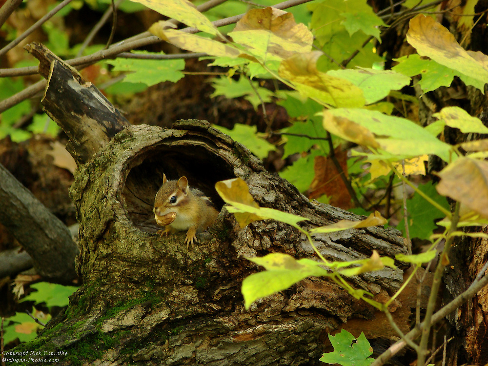 Chipmunk with nut in knothole