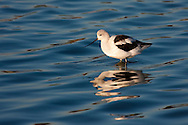 An american avocet stands in shallow water