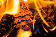 Flames surround a Douglas fir (Pseudotsuga menziesii) cone in King County, Washington. Douglas fir cones are unique in that they have three-pronged brachts that extend from between the scales. According to Native American legends, those brachts represent mice that used the cone for protection during forest fires; the mice dove headfirst into the cones and the three prongs represent their hing legs and tail.