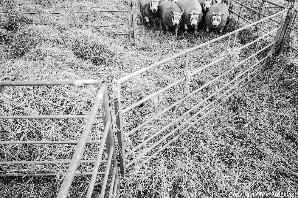 Border Union Show Ground, Kelso, Scottish Borders, UK. 8th September 2016. Rams enter their temporary home prior to sale. Kelso Ram sales is the largest single day sale of its kind globally. The 2016 sale, to be held on Friday, will auction 5145 rams, some of which will fetch several thousand pounds.