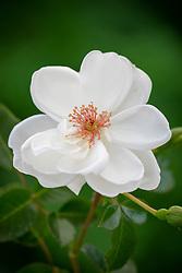 Rosa 'Starlight Symphony' syn. 'Harwisdom'