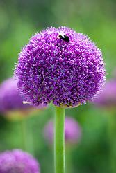 Bee on Allium 'Ambassador'