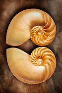 The nautilus is a pelagic marine mollusc of the cephalopod family Nautilidae, the sole extant family of the superfamily Nautilaceae and of its smaller but near equal suborder, Nautilina.