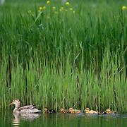 Nederland Rotterdam 19 april 2009 20090419 Foto: David Rozing ..Kuikens kleine jonge eendjes, voorjaar, extreem vroege kuikentjes al in april,  .Young ducks swinmming in water, duck, yellow, blue, wcircle of life..Foto: David Rozing