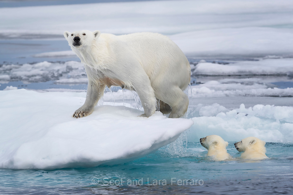 Two cubs follow their mother onto a new section of pack ice. The location where mom climbed out was a too tall for them, but they found a better edge down a bit further and quickly scrambled out.