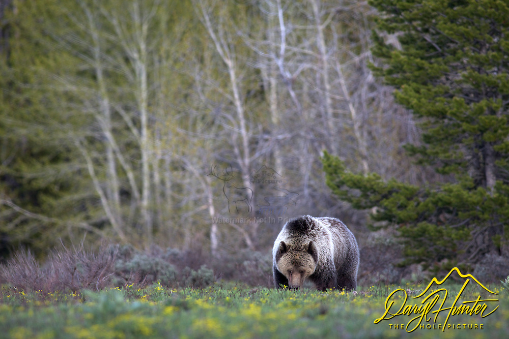 Foraging Grizzly Bear in Grand Teton National Park