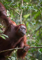 A wild Bornean orangutan (Pongo pygmaeus) leaning on a branch in Tanjung Puting National Park, Borneo, Indonesia.