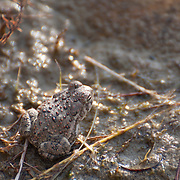 A red-spotted toad (Bufo punctatus) at Walden Ponds, Boulder, Colorado, September 18, 2010.  Photo by William Byrne Drumm.