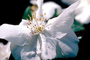 Mock Orange Garden Flower