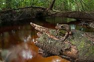 An adult Gladiator tree frog (Boana boans) sits above a blackwater creek - Berbice rainforest, Guyana.