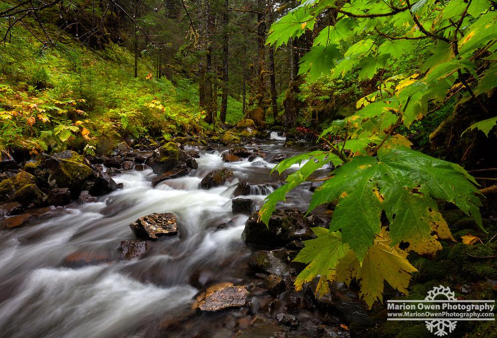 Devil's Club in late summer colors near a small, rain-swollen creek in Kodiak, Alaska