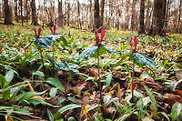 A group of spotted trilliums  rise above a carpet of rare trout lilies in southern Georgia. Slightly different from its endangered cousin - the confederate trillium - this one grows fairly high about the fallen leaves of the early spring forest floor.