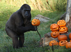 A gorilla with a pumpkin during a photo call ahead of Halloween, at London Zoo.