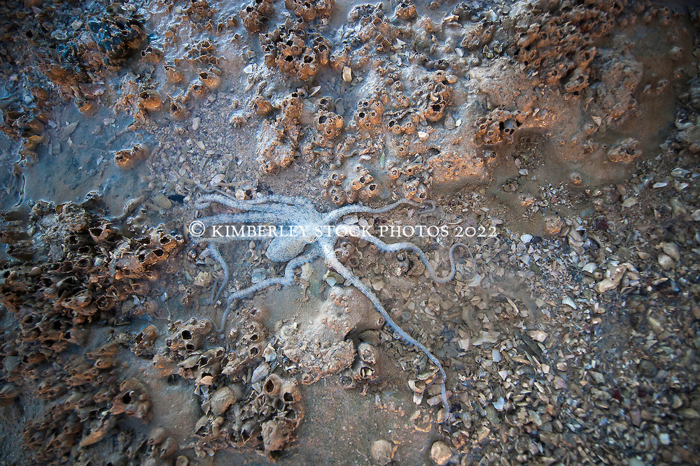A small octopus lies camouflaged in a rockpool by the Broome port at low tide.