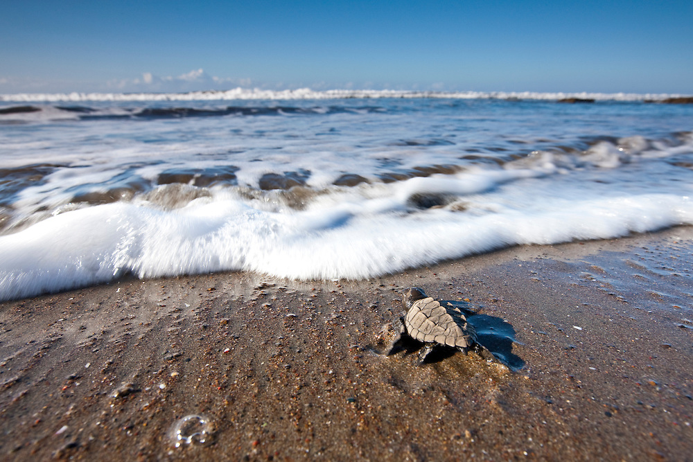 Costa Rica, Playa Caletas, Olive Riddley Sea Turtle (Lepidochelys olivacea) hatchling on beach crawling toward ocean