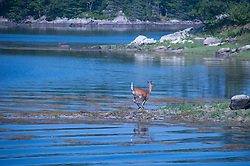 White-Tailed Deer (Odocoileus virginianus) Swimming, Great Island, Castine, Maine, US