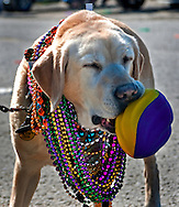 Yvonne, an eight-year-old Labrador Retriever owned by Janice Engle of Idaho, catches a football during the annual Mardi Gras parade March 6, 2011 in Grand Isle, La. The island was heavily impacted by the Deepwater Horizon oil spill April 20, 2010 and continues to recover. (Photo by Carmen K. Sisson/Cloudybright)