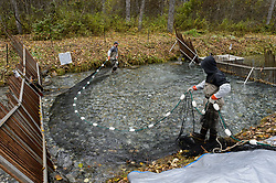 David Campbell (left) and Dylan Burbank, fish technicians for the non-profit Northern Southeast Regional Aquaculture Association, Inc. (NSRAA), use a large net to catch chum salmon trapped in a temporary weir located on the man-made spawning channel of Herman Creek near Haines, Alaska.<br /> <br /> NSRAA built the channel to collect wild broodstock by harvesting spawning female and male salmon for their eggs and milt to artificially spawn wild chum salmon. The eggs are fertilized with milt and placed in stream-side incubation boxes on Herman Creek and the Klehini River. In 2014, 2.4 million eggs were seeded into these incubation boxes. The 2013 incubation box survival rate was 90%. Without the artificial spawning, natural survival is said to be only 10%.<br /> <br /> Based in Sitka, Alaska, NSRAA conducts salmon enhancement projects in northern southeast Alaska. It is funded through a salmon enhancement tax (of three percent) and cost-recovery income. NSRAA also produces sockeye, chinook, and coho salmon.<br /> <br /> Male chum salmon return to Herman Creek to spawn with female chum salmon during the fall chum salmon run. The chum salmon return to freshwater Herman Creek, tributary of the Klehini River after living three to five years in the saltwater ocean. Spawning only once, chum salmon die approximately two weeks after they spawn. <br /> <br /> Chilkat River and Klehini River chum salmon are the primary food source for one of the largest gatherings of bald eagles in the world. Each fall, bald eagles congregate in the Alaska Chilkat Bald Eagle Preserve.
