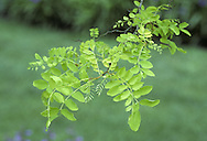 False Acacia Robinia pseudoacacia (Fabaceae) HEIGHT to 30m <br /> Medium-sized, open-crowned tree. BARK Spirally ridged. BRANCHES Snap easily. LEAVES Alternate, to 20cm long, pinnate, with 3–10 pairs of oval yellowish-green leaflets; petiole has 2 woody, basal stipules, each leaflet has a small stipule at petiole base. REPRODUCTIVE PARTS Fragrant, white pea-like flowers in dense, hanging clusters, to 20cm long. Pods smooth, to 10cm long. STATUS AND DISTRIBUTION Native to USA, planted here and naturalised.