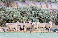 Feeding, Merino Sheep and Helmeted Guineafowl,  Bredasdorp, Overberg, Western Cape, South Africa,