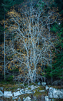 """Spirit Tree"" (Color) Fine Art Limited Edition. 20 Prints. A tree on Wallace Island in the Gulf Islands of British Columbia, Canada."