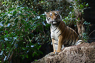 A tiger at the San Diego Zoo