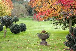 Autumn in John Massey's garden. Standard topiary balls of holly - Ilex aquifolium 'Siberia'. Stone urn. Liquidambar styraciflua 'Worplesdon' - Sweet gum