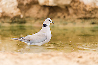 Cape Turtle Dove drinking from a waterhole at dawn , Kgalagadi Transfrontier Park, Northern Cape, South Africa