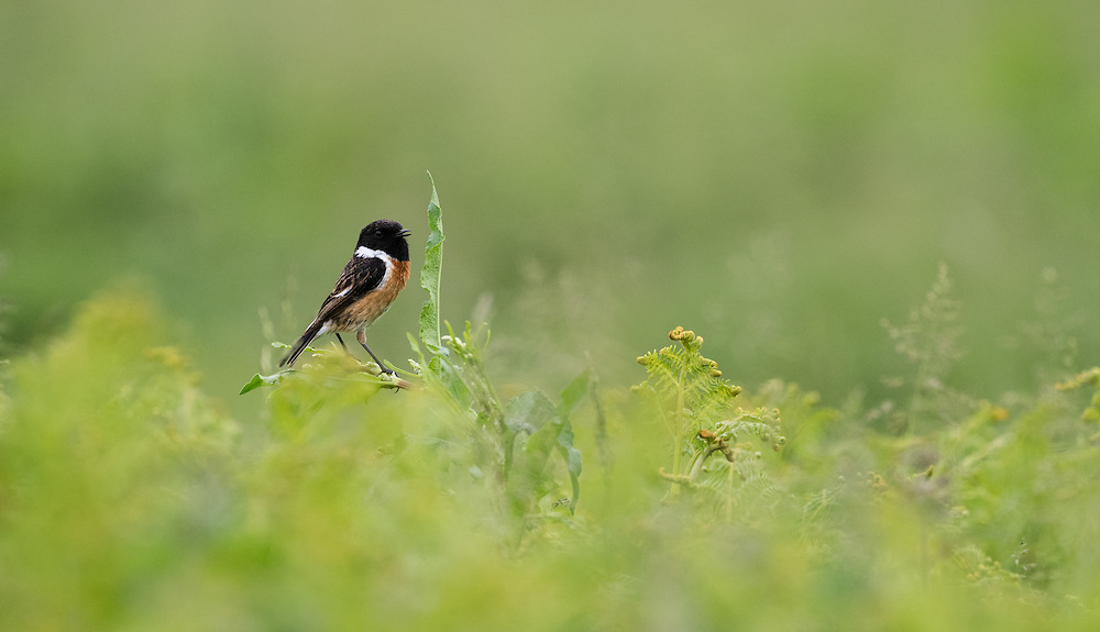 Male stonechat, Islay, Scotland