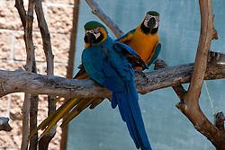 A pair of Blue and Gold Macaws (Ara ararauna), Charles Paddock Zoo, Atascadero, California, United States of America