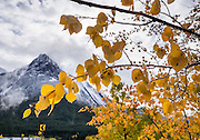 A snow-dusted peak in the Queen Elizabeth Ranges rises above yellow aspen leaf colors in Maligne Valley, Jasper National Park, Canadian Rockies, Alberta, Canada. Jasper is the largest national park in the Canadian Rocky Mountain Parks World Heritage Site declared by UNESCO in 1984.