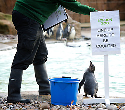 London Zoo. Penguin..Annual stock take at London Zoo, Regent's Park, London, Great Britain, January 3, 2013. Photo by Elliott Franks / i-Images.