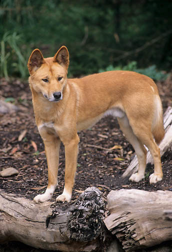 Dingo (Canis familiaris) in Australia.  Captive Animal.