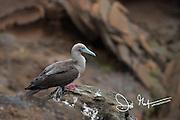 A Red-footed booby at Punta Pitt, San Cristobal island, Galapagos archipelago of Ecuador.