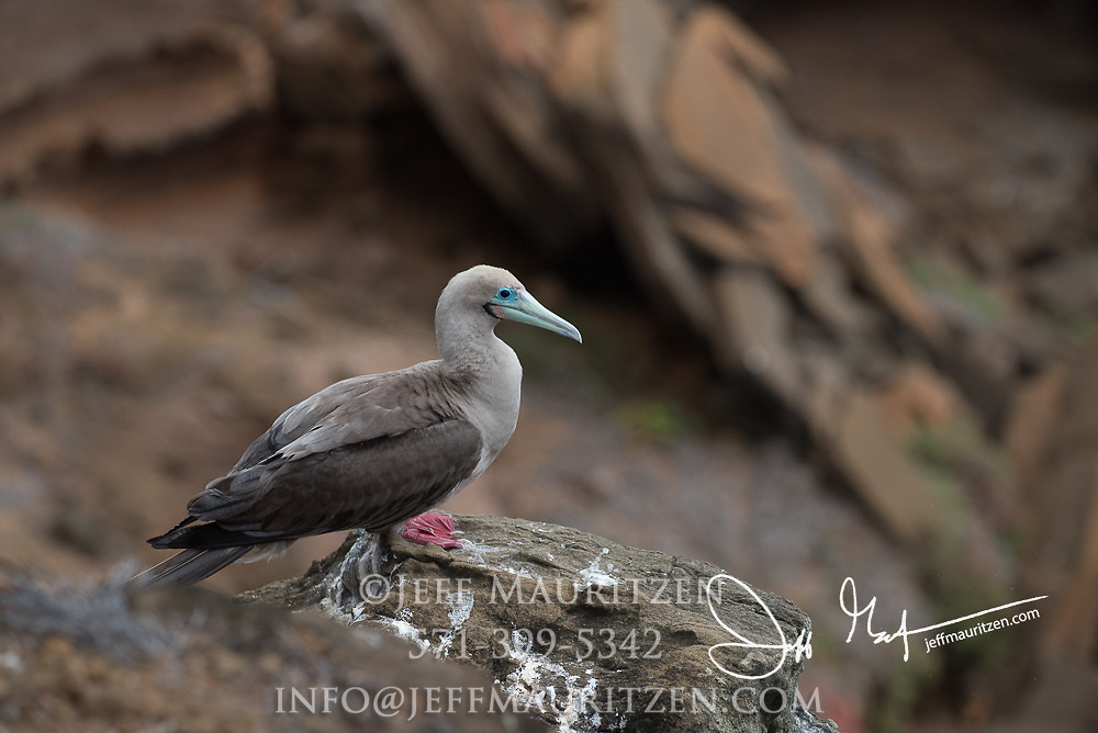 A Red-footed booby at Punta Pitt, San Cristobal island, Galapagos archipelago of Ecuador.