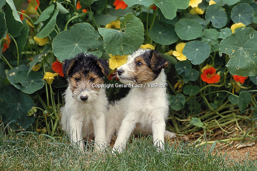 WIRE-HAIRED FOX TERRIER DOG, PUPPIES SITTING NEAR NASTURTIUM