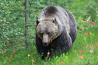 Grizzly bear in the Canadian Rockies